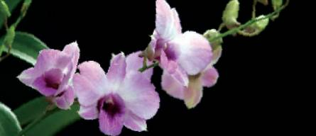 Orchid named Emma